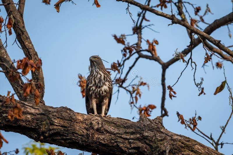 Changeable or crested hawk eagle nisaetus cirrhatus perched on sky background on a mahua tree at bandhavgarh. National park, madhya pradesh, india royalty free stock photo