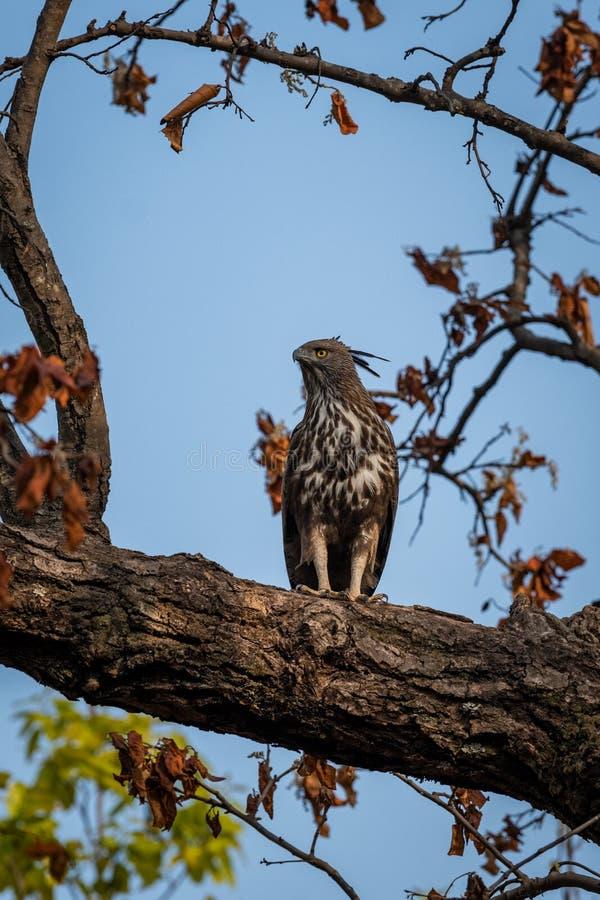 Changeable or crested hawk eagle nisaetus cirrhatus perched on sky background on a mahua tree at bandhavgarh. National park, madhya pradesh, india stock photo