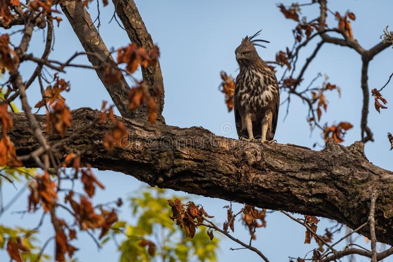 Changeable or crested hawk eagle nisaetus cirrhatus perched on sky background on a mahua tree at bandhavgarh. National park, madhya pradesh, india stock photos