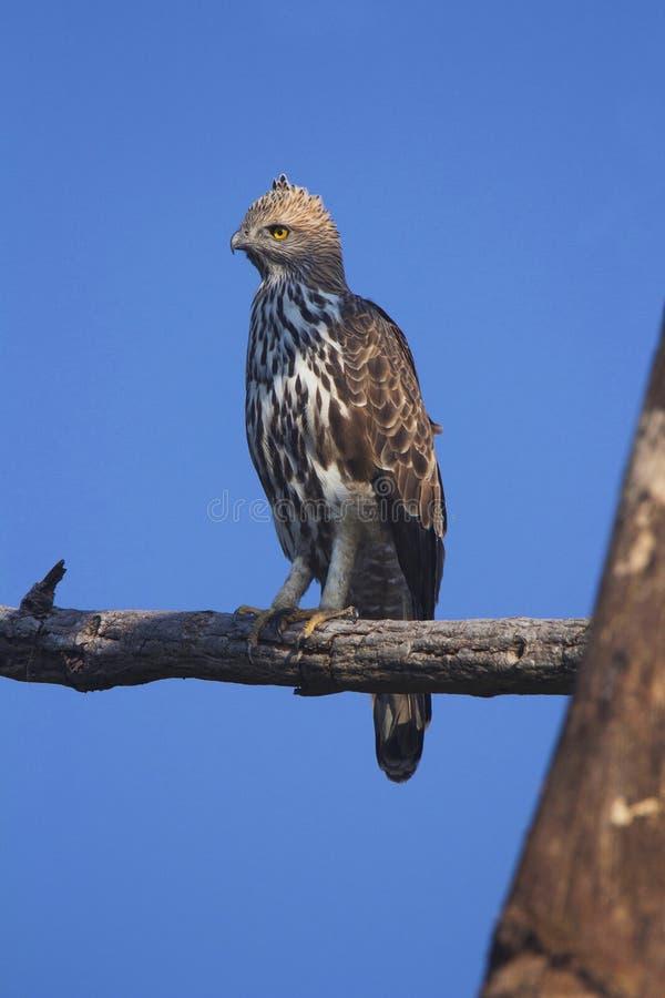 Changeable Eagle, Nisaetus cirrhatus Corbett tygrysa rezerwa, Uttarakhand, India zdjęcia stock