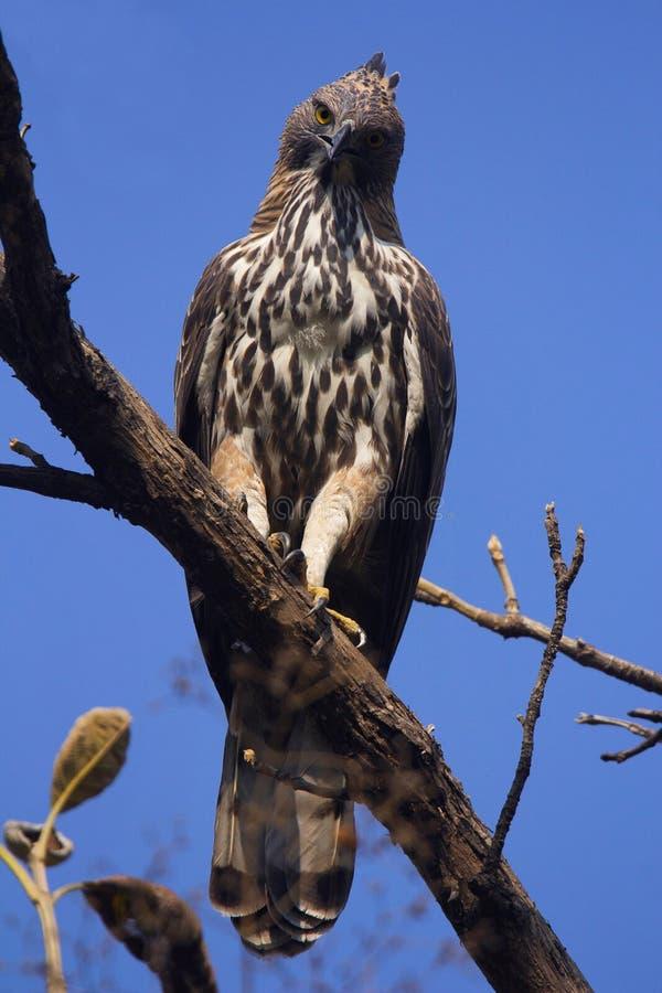 Changeable Eagle, Nisaetus cirrhatus, Corbett tygrysa rezerwa, Uttarakhand, India zdjęcia stock