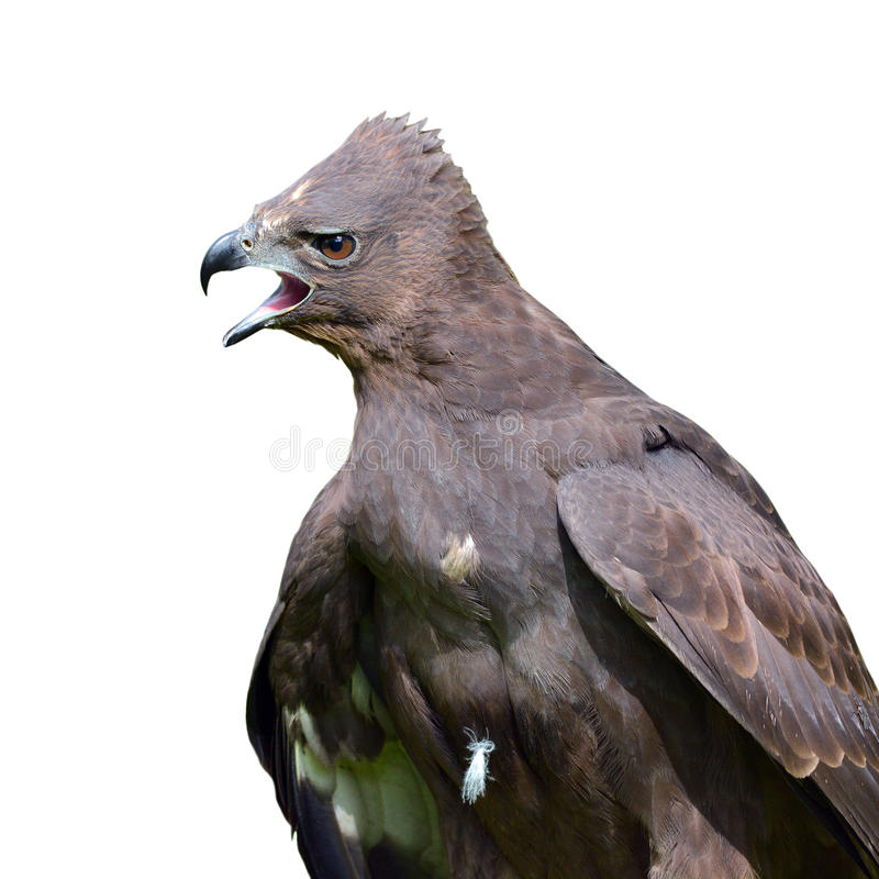 Changeable Hawk-Eagle. Close up of a Changeable Hawk eagle royalty free stock photography