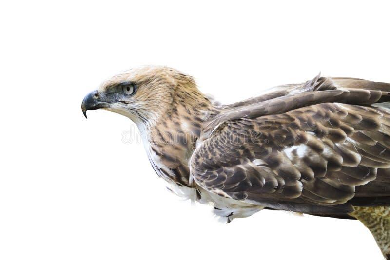 Changeable jastrząb Eagle (Nisaetus limnaeetus) fotografia royalty free