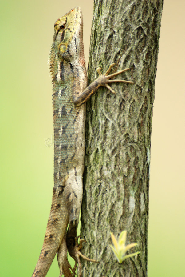Download Changeable Lizard In A Tree Stock Image - Image: 7144321
