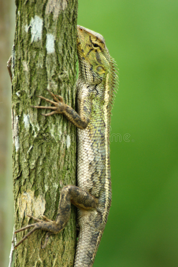 Download Changeable Lizard In A Tree Stock Photo - Image: 7144322