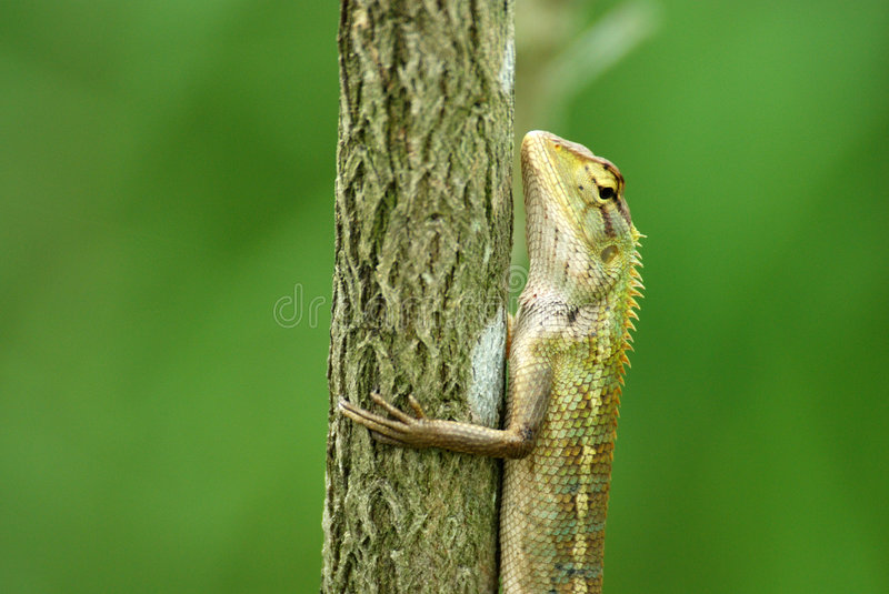Changeable Lizard In A Tree Stock Photos