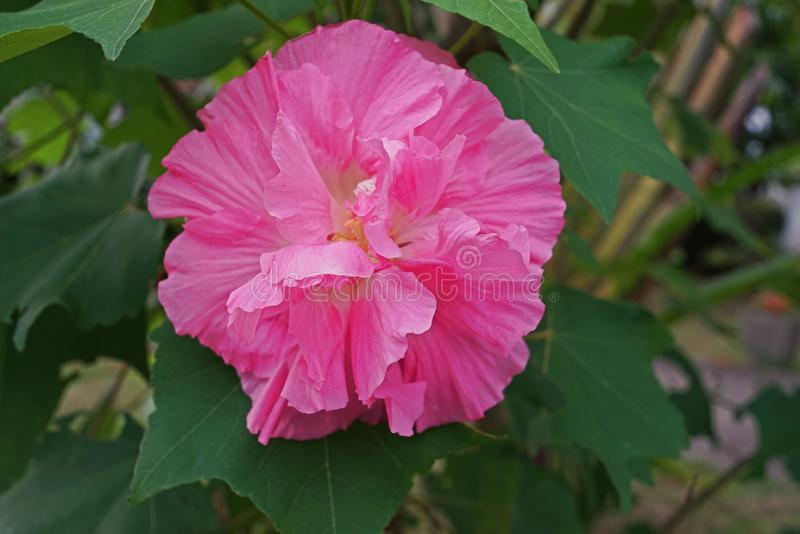 Changeable wzrastał, kwiatonośna roślina która kwiaty są biali w kręcenie czerwień w wieczór, ranku i menchie i obraz stock