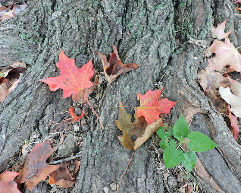 Download Changing Autumn Leaves On Maple Tree Roots Stock Photo - Image of maple, green: 60399380