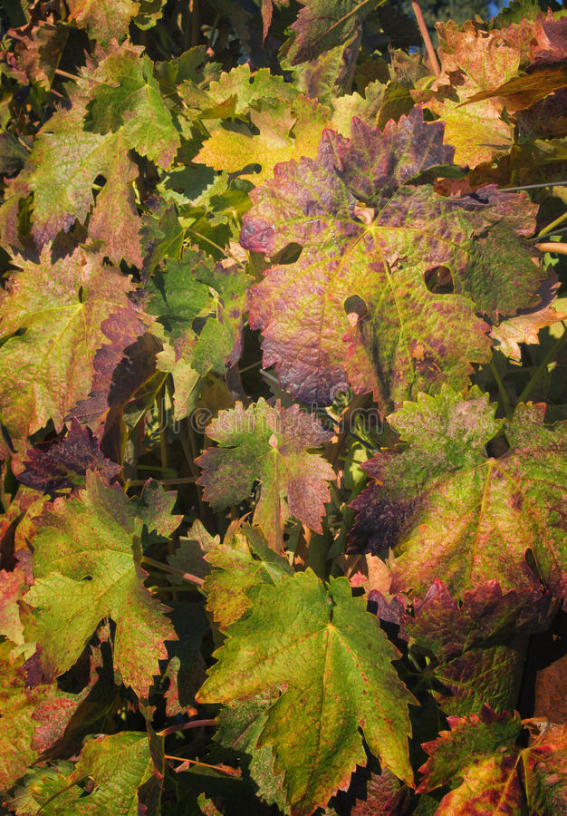 Download Changing Leaves 0n Grapvines, California Royalty Free Stock Image - Image: 21881216