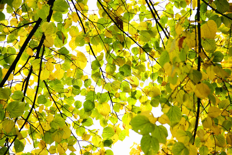 Changing Leaves royalty free stock photography