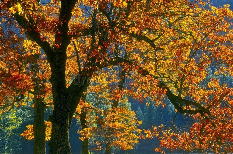 Changing Leaves of Autumn, Yosemite, California stock photo