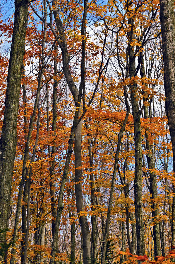 Changing Leaves, Michigan. The colorful yellow and orange changing leaves of the fall season in the Upper Peninsula of Michigan, in the Painted Rocks National royalty free stock photography