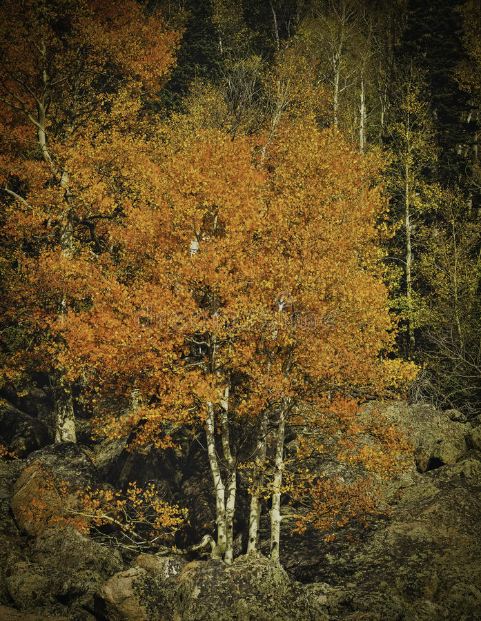Changing Leaves, Rocky Mountain National Park royalty free stock image