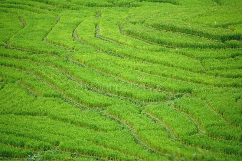 Changmai Rice Field stockfoto