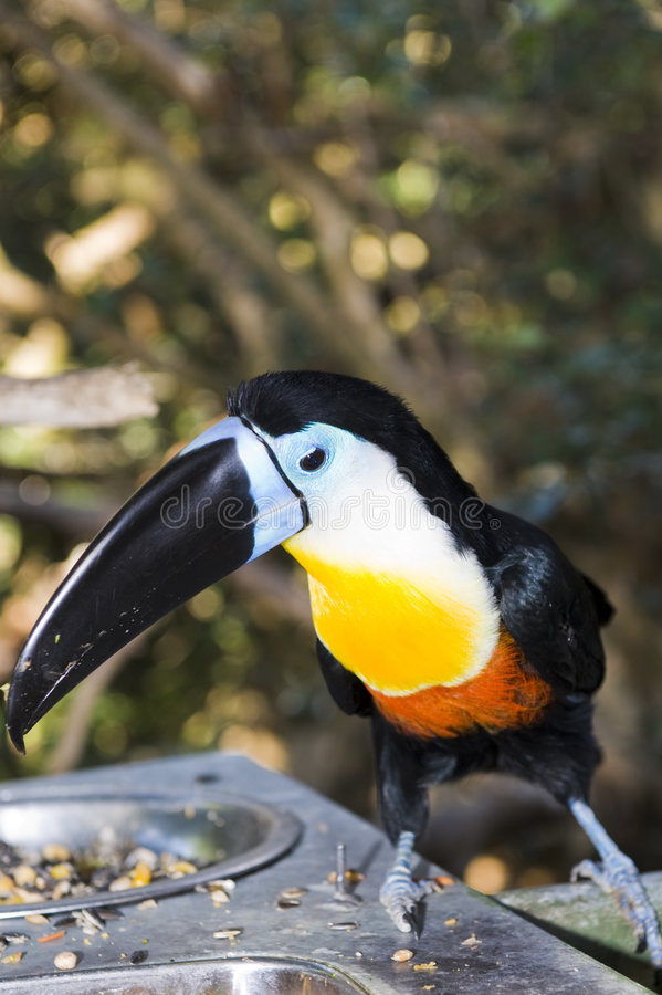 Channel Billed Toucan royalty free stock image