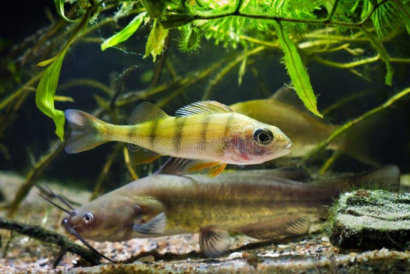 Channel catfish, Ictalurus punctatus, and European perch, Perca fluviatilis, dangerous freshwater predators in European cold-water. River biotope fish aquarium stock photos