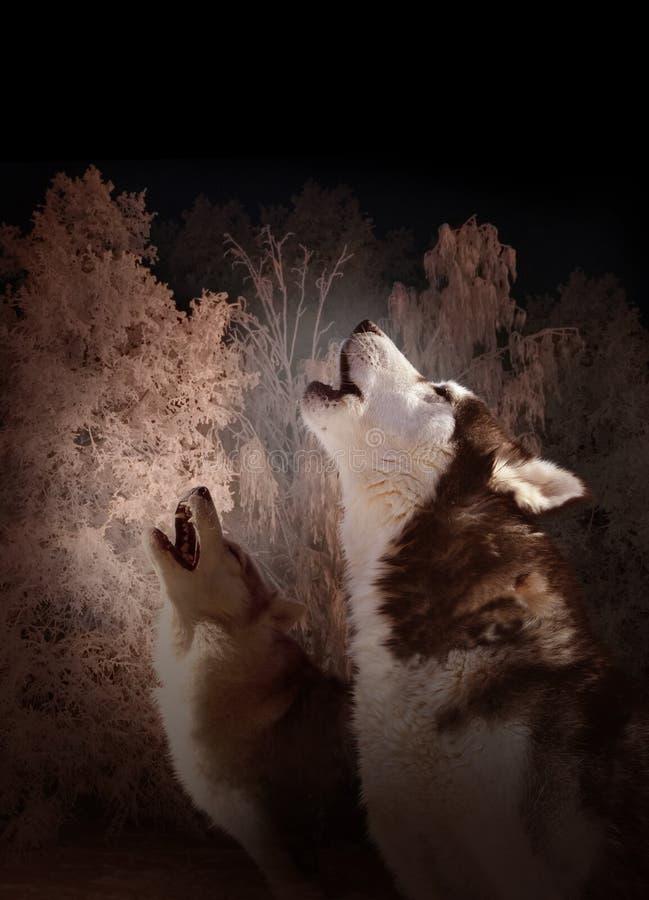 Chanson de nuit de loups dans la forêt d'hiver images libres de droits