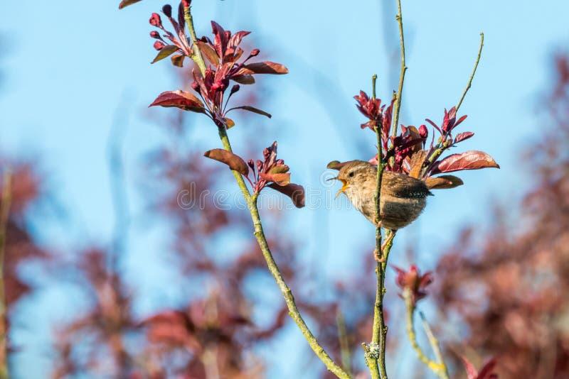 Chant de roitelet de printemps photo libre de droits