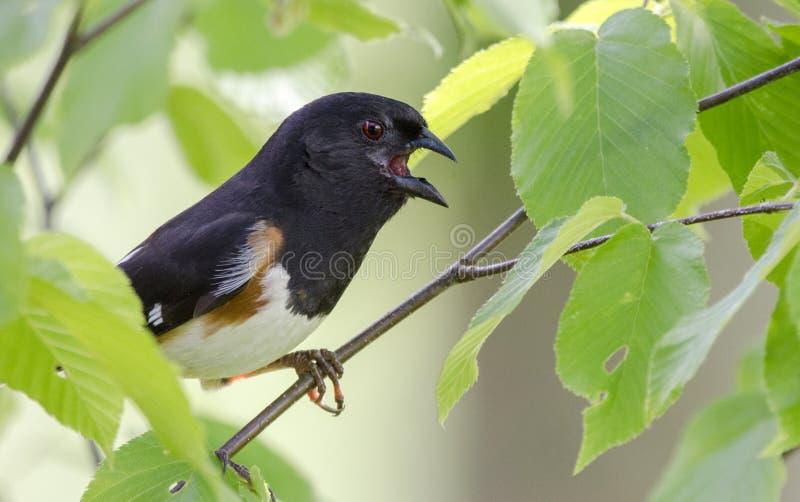 Chant oriental d'oiseau de Towhee images stock
