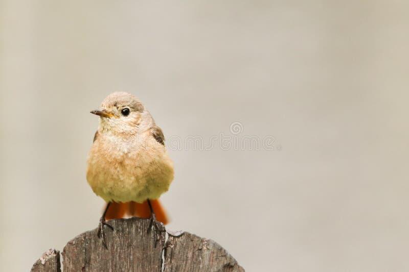 Chant se reposant commun d'oiseau chanteur de megarhynchos de rossignol ou simplement de Luscinia de rossignol sur la planche en  image stock