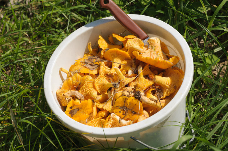Chanterelle. S in white bucket in the forest royalty free stock photos