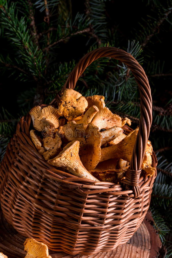 Chanterelle. A fresh and tasty Chanterelle stock images