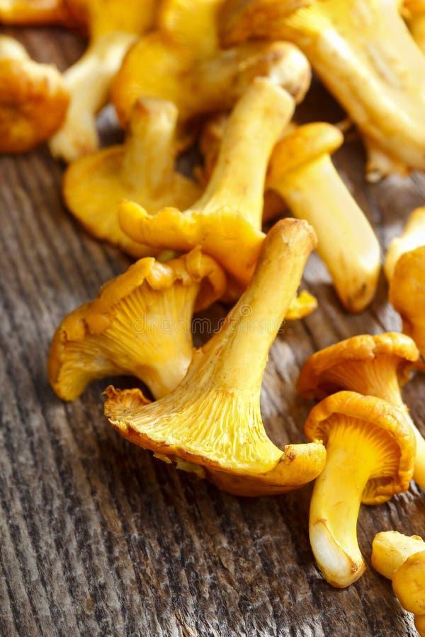 Chanterelle mushrooms stock image