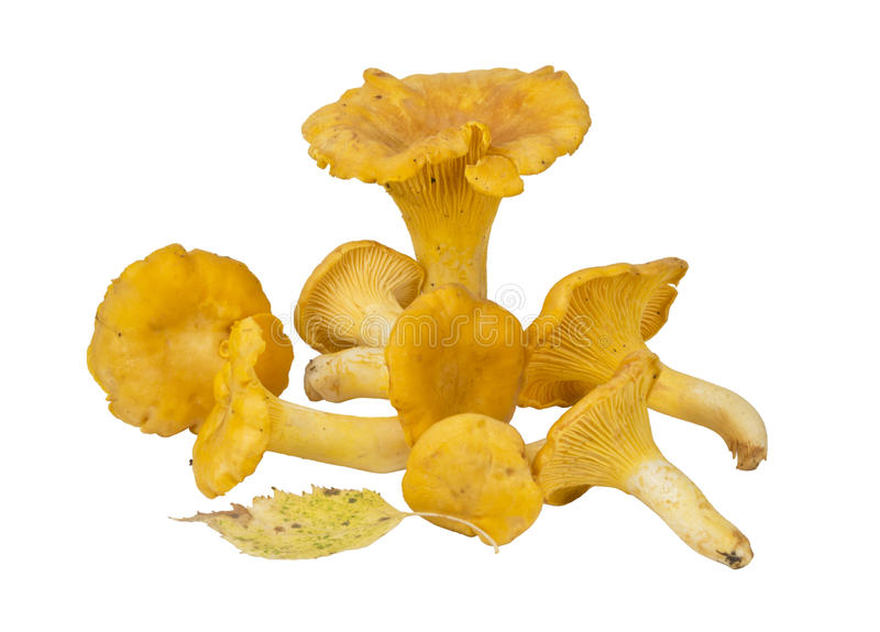 Chanterelle mushrooms on a white background stock image