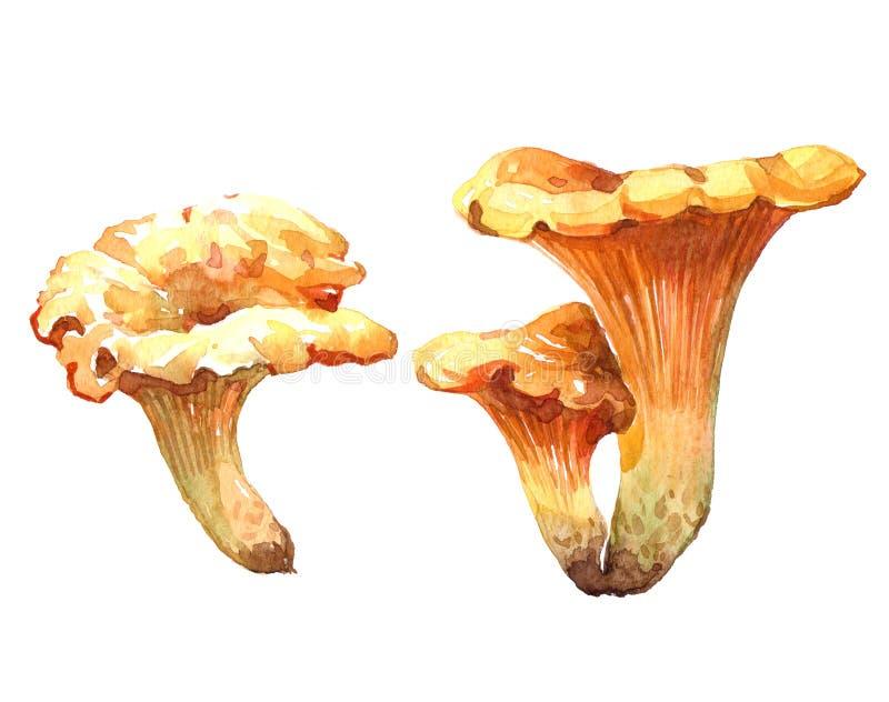 Chanterelle Watercolor απεικόνιση μανιταριών που απομονώνεται απεικόνιση αποθεμάτων