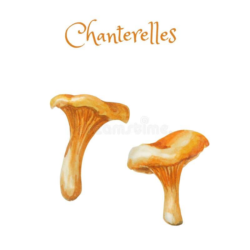 Chanterelles Εδώδιμα μανιτάρια Watercolor Φωτεινό hand-drawn μανιτάρι δύο απεικόνιση αποθεμάτων