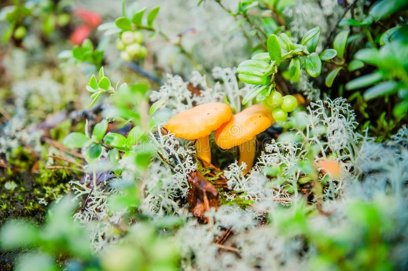 Chanterelles in white moss and green grass royalty free stock image