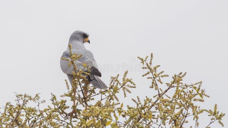 Chanting-Goshawk oriental na árvore imagem de stock royalty free