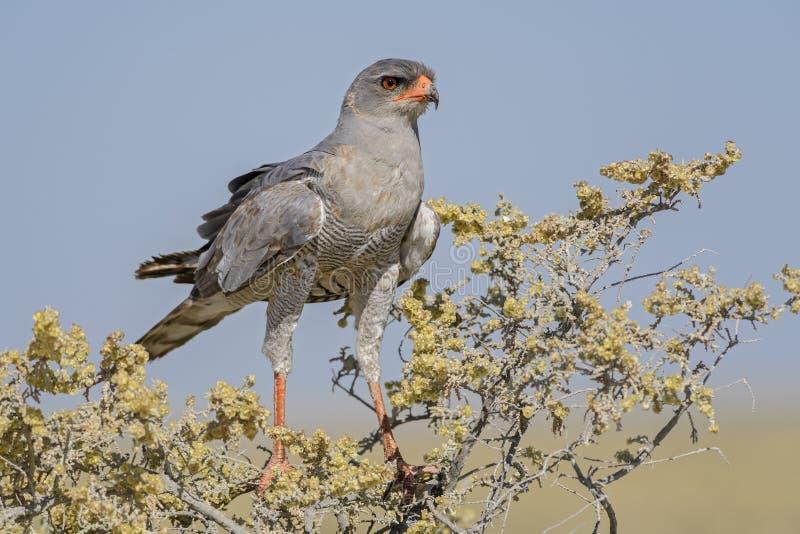Chanting-goshawk p?lido - canorus de Melierax foto de stock royalty free