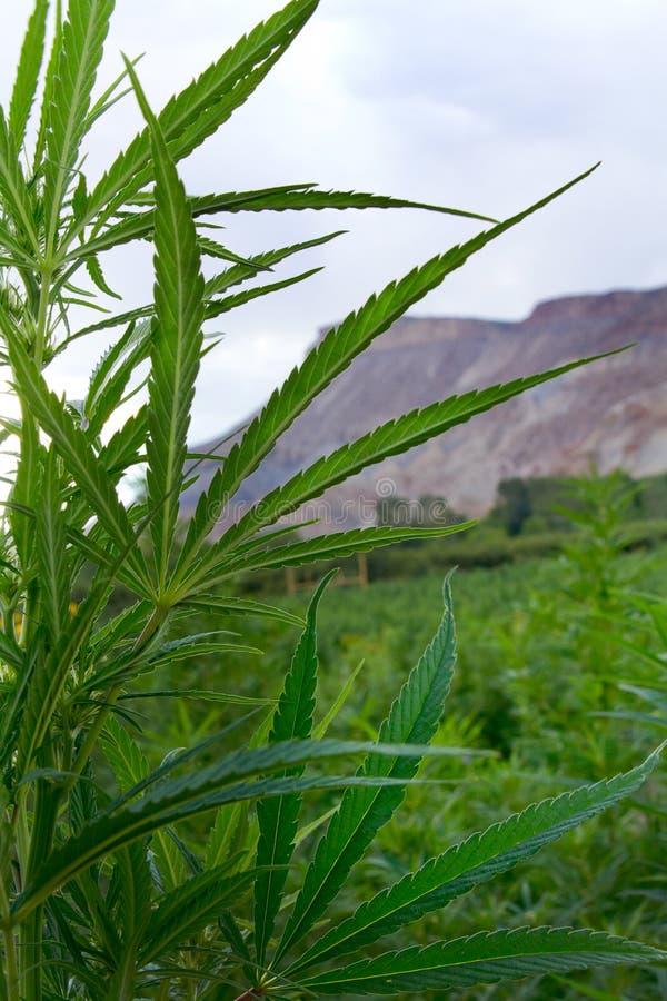 Chanvre industriel ou usine de marijuana dans le Colorado photographie stock