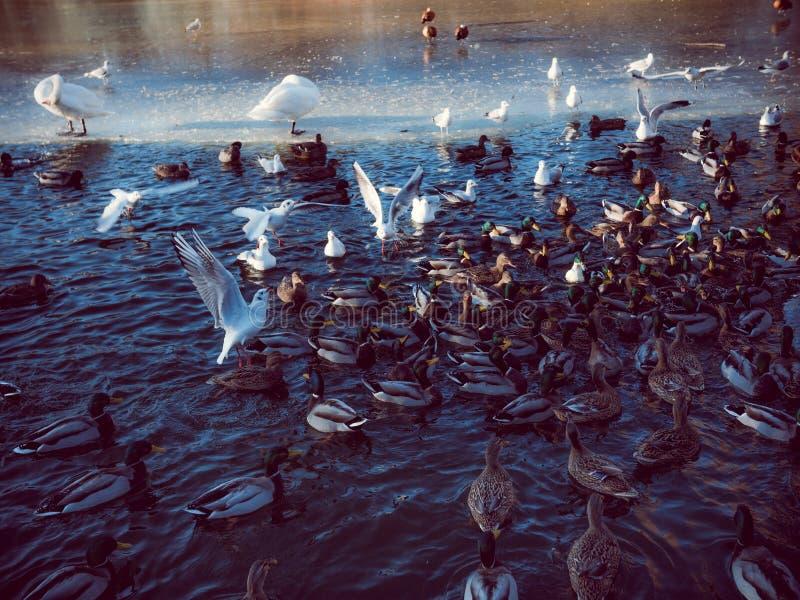 Chaos in Duck Pond Feeding Frenzy stock foto