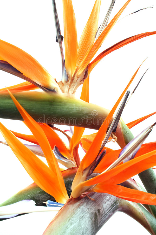 Chaotic Strelitzias. Strelitzia flowers over white; A natural but chaotic background stock photo