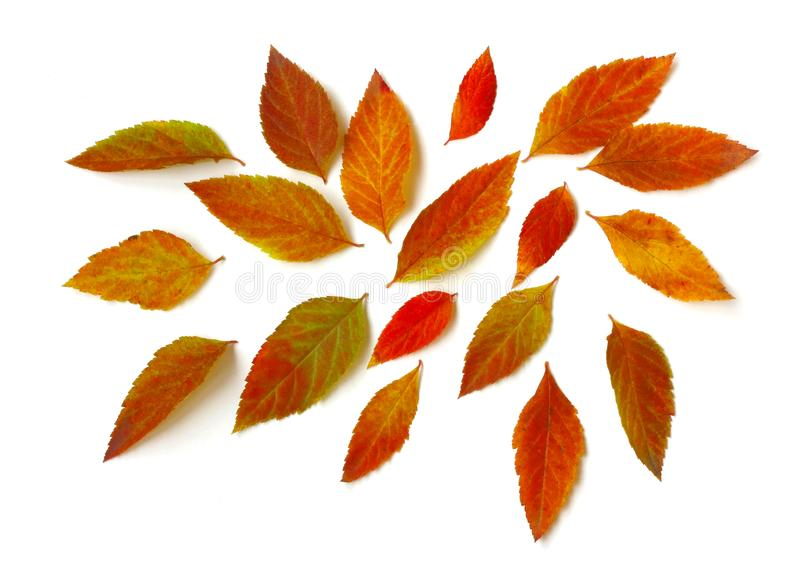 Chaotically scattered autumn bright leaves, white background royalty free stock images