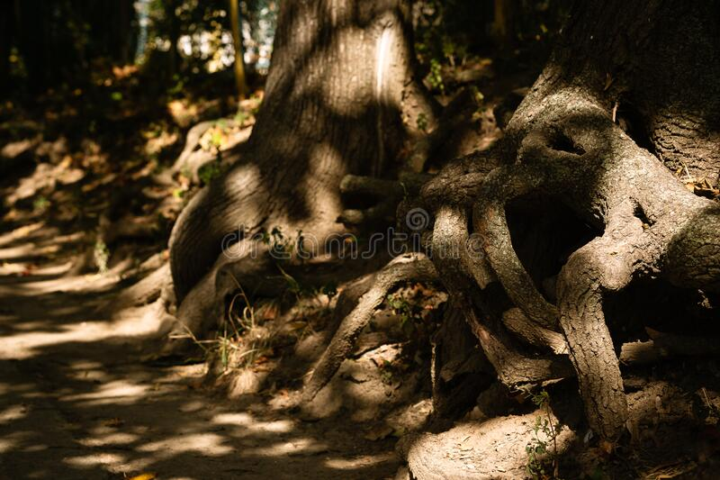 Chaoticly woven roots of old trees with patches of sunlight. On a warm autumn day stock photo