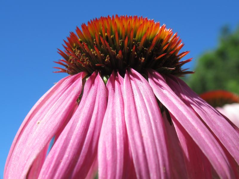 Chapéu cor-de-rosa bonito do sol, família da margarida, asteraceae, céu azul fotos de stock