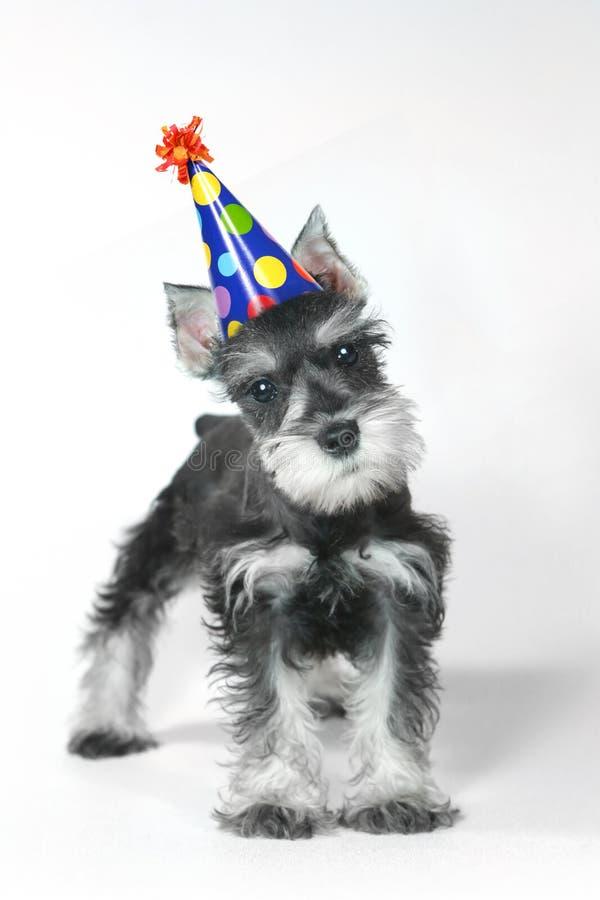 Chapéu do aniversário que veste o cão de cachorrinho do Schnauzer diminuto no branco fotografia de stock royalty free