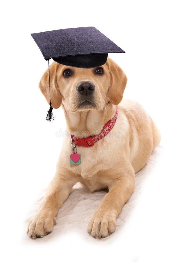 Chapéu vestindo da placa do almofariz do cão da escola do obiedience do cachorrinho fotos de stock royalty free