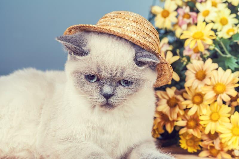 Chapeau de paille de port de chaton siamois images stock