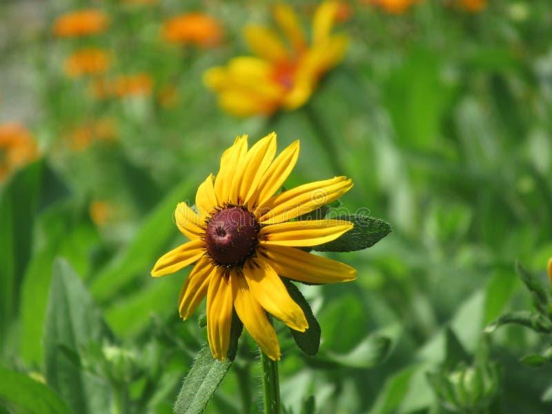 Chapeau merveilleux du soleil, fleurs, pré de fleur, le soleil, image stock