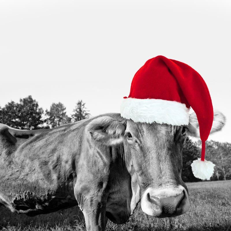 Chapeau rouge de Noël sur une vache, carte de voeux de Noël d'amusement image stock