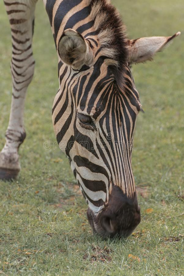 Chapman`s zebra, Equus quagga chapmani, plains zebra with pattern of black and white stripes. Portrait Vertical Close up stock image