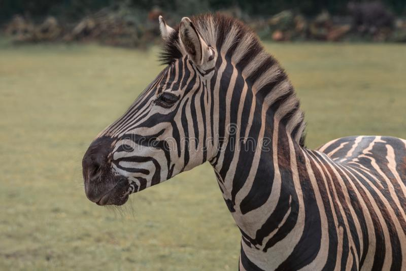 Chapman`s zebra, Equus quagga chapmani, plains zebra with pattern of black and white stripes. Portrait stock image