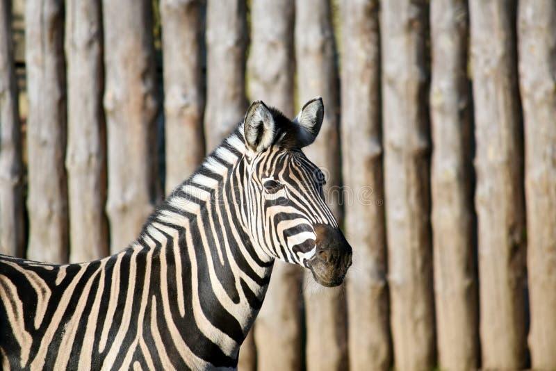 Chapman ` s zebry Equus kwaga chapmani obrazy royalty free