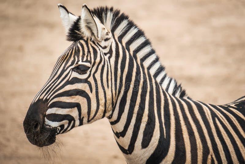 Chapmani квагги Equus зебры Chapmans стоковые изображения