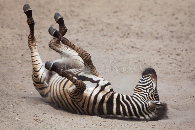 Chapmani do quagga do Equus da zebra do ` s de Chapman foto de stock royalty free