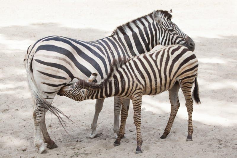 Chapmani Quagga Equus Zebra ` s des ambulanten Händlers lizenzfreies stockbild